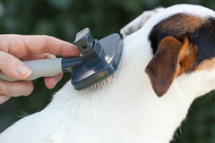 Grooming a jack russel with brush Royalty Free Stock Images