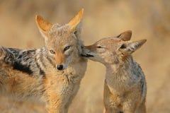 Grooming Jackals. Two black backed jackals grooming Stock Image