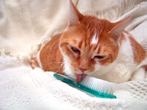 Grooming Kitty Licking Brush. Cat Loves Being Groomed. Loves Her Brush Stock Image