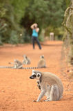Grooming lemur catta, ring tailed lemur, photographed by a tourist. Ring tailed lemur is the most well known lemur species. People all over the world comes to Royalty Free Stock Photography