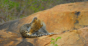 Grooming Leopard camouflaged on rocks Royalty Free Stock Photos