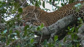 Grooming leopard in tree at masai mara national park, kenya. A leopard grooms its fur in tree at masai mara national park, kenya royalty free stock image
