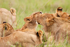 Grooming Lions Royalty Free Stock Photo