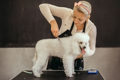 Grooming a little dog in a hair salon for dogs. Beautiful white poodle royalty free stock photo