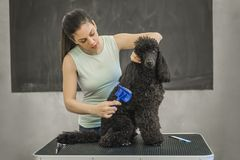 Grooming a little dog in a hair salon for dogs. Beautiful black poodle Royalty Free Stock Photography
