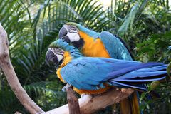 The Grooming Macaws. Two blue gold macaws sitting around, one giving the other a nice scratch on the back of the head stock photography