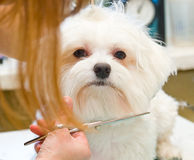 Grooming Maltese dog Royalty Free Stock Photo