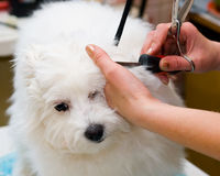 Grooming Maltese dog Royalty Free Stock Photography