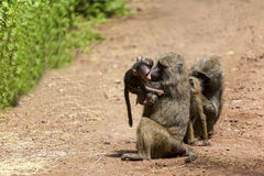 Grooming Monkey Family Royalty Free Stock Photos