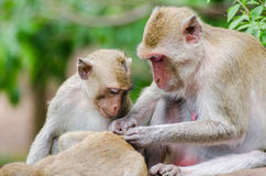 Grooming monkeys. Monkeys crab eating macaque grooming one another with young monkey, Ratchaburi, Thailand royalty free stock image