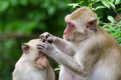 Grooming monkeys Royalty Free Stock Photography
