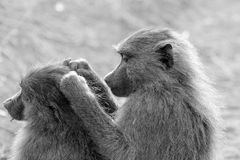 Grooming olive baboon in black and white Royalty Free Stock Image