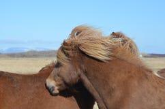 Grooming Pair of Icelandic Horses Stock Image