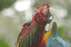 Grooming Parrots. A parrot grooming another parrot Stock Image