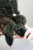Grooming paw of a black poodle stock image