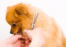 Grooming pomeranian dog Stock Image