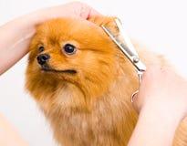 Grooming pomeranian dog Stock Photography