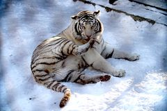 Siberian white Tiger stock images