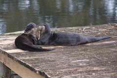 Grooming River Otters Royalty Free Stock Image