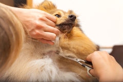 Grooming with a scissor on a shetland sheepdog. Grooming with scissor on a shetland sheepdog Royalty Free Stock Image
