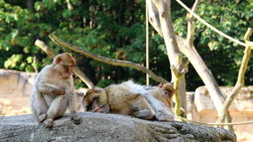 Grooming and scratching Barbary Macaques Family Royalty Free Stock Photos