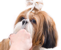 Grooming the Shih Tzu dog. Isolated on white stock photography