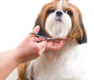 Grooming the Shih Tzu dog stock photos