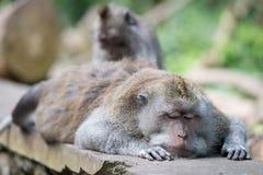 Grooming of sleeping wild big monkey leader Royalty Free Stock Image