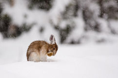 Grooming Snowshoe hare Royalty Free Stock Images