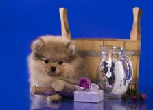 Grooming spitz puppy. Pomeranian spitz puppy bath time royalty free stock photo
