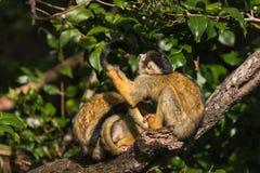 Grooming squirrel monkeys Stock Photos