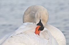 Grooming swan. Beautiful grooming white sawn on a lake Royalty Free Stock Image