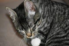Tabby Manx Kitten royalty free stock photo