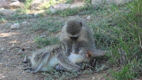 Grooming vervet monkeys stock video footage
