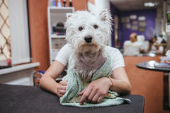 Hairdresser mows West Highland White Terrier fur on the ear with a trimmer Royalty Free Stock Images