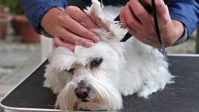 Grooming white dog stock video
