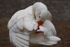 Grooming White Goose. White Goose by the river grooming itself Royalty Free Stock Photos