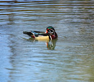 Grooming Wood Duck. A Male wood duck grooming himself in a small pond Royalty Free Stock Photos