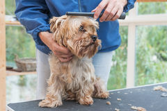 Grooming Yorkshire terrier Royalty Free Stock Photos