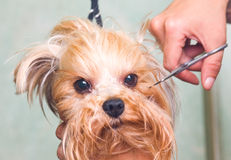 Grooming Yorkshire terrier dog Royalty Free Stock Images