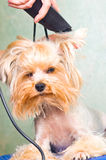 Grooming Yorkshire terrier dog royalty free stock photos