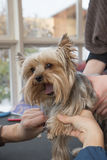 Grooming Yorkshire Terrier. Stock Photo