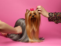 Grooming Yorkshire Terrier Dog with long Hair Stands on Pink Royalty Free Stock Photo