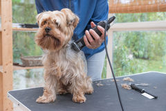 Grooming Yorkshire terrier dog by razor. Grooming Yorkshire terrier by electric razor. Dog is sitting on the grooming table Royalty Free Stock Images