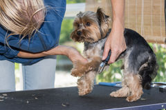 Grooming of the yorkshire terrier Stock Images