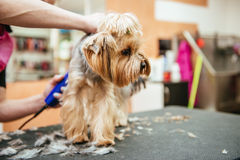 Hairdresser mows Yorkshire Terrier fur on the ear with a trimmer. Grooming Yorkshire Terrier professional hairdresser. Hairdresser mows Yorkshire Terrier fur on Stock Images