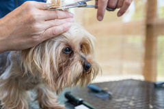 Grooming Yorkshire terrier side view Stock Photos
