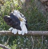 Grooms белоголового орлана на окуне журнала Стоковые Изображения