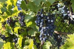 Groons de uvas maduras nos raios do sol de ajuste Foto de Stock Royalty Free