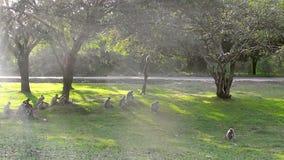 Groop av lösa macaques som spelar på gräset och klättrar träden arkivfilmer